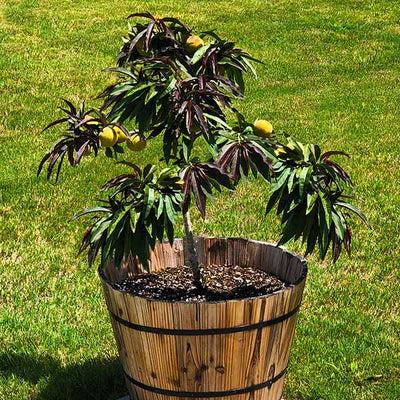 bonanza peach trees for sale