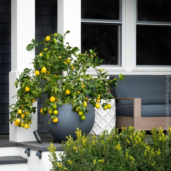 meyer lemon bushes for florida for sale fastgrowingtrees com