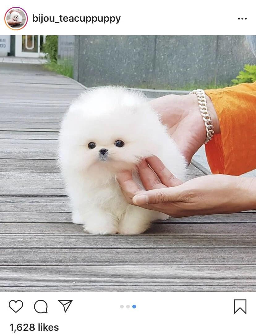 Mini Pom Dog : Teacup, Pomeranian, Apartment, Ever!, Here's, Andrija, Nikolic