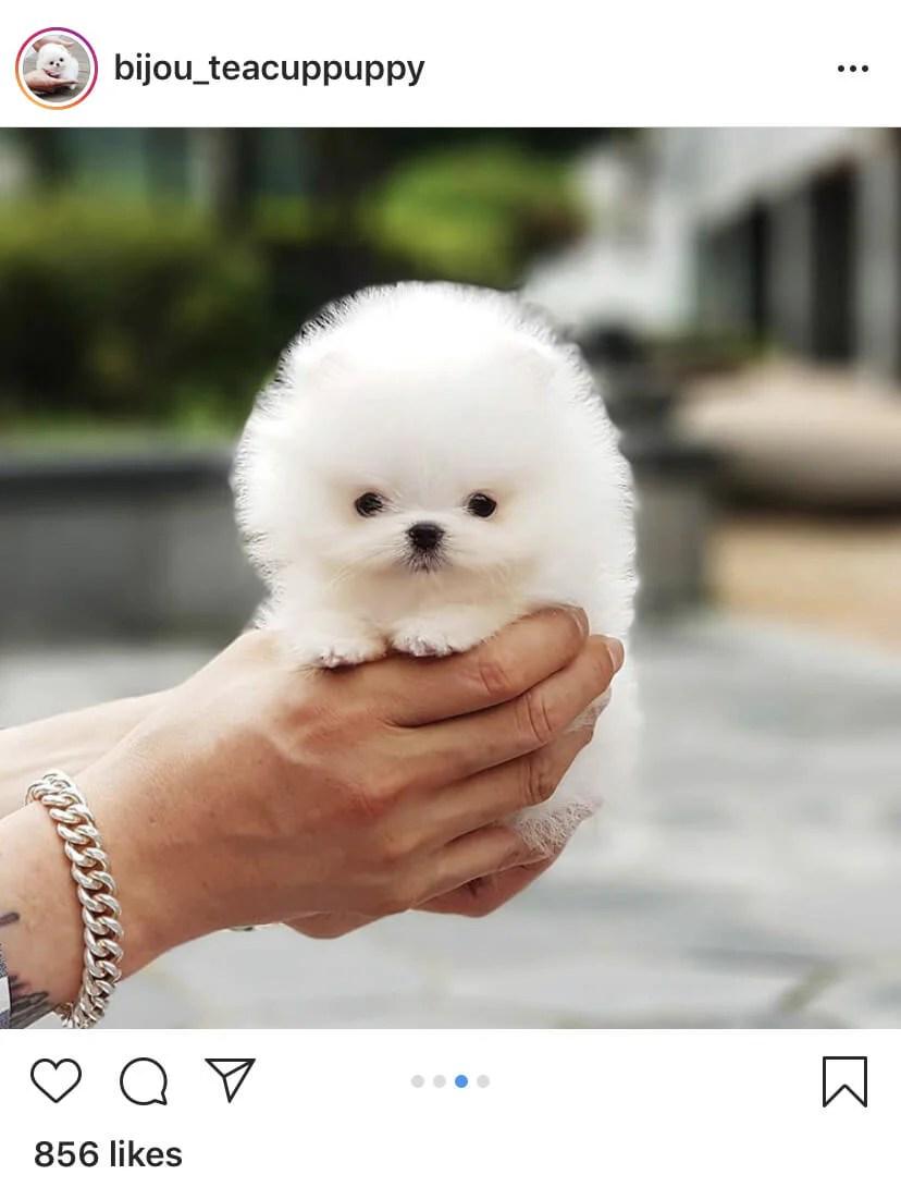 Miniature Pomeranian or Teacup Pomeranian Puppy?