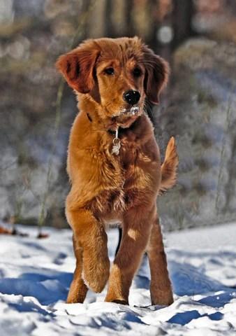 Red Golden Retriever Puppies For Sale : golden, retriever, puppies, Everything, About, Golden, Retriever(2019, Edited)