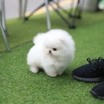 Teacup Puppies For Sale Teacup Puppy Miniature Toy Dogs Foufou Puppies