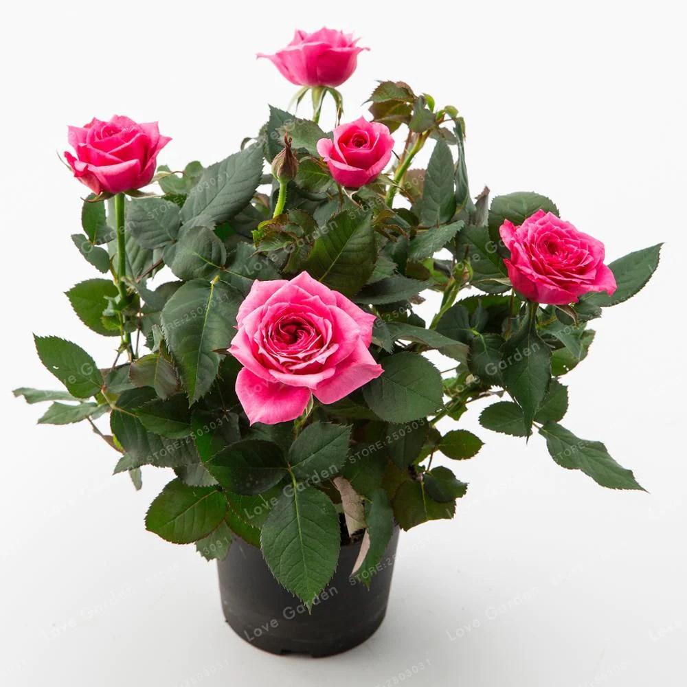 Rose Mini Rose seeds 100pcs DIY Home Garden Potted Flowers