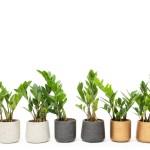 Meet The Zz Plant Desk Plants