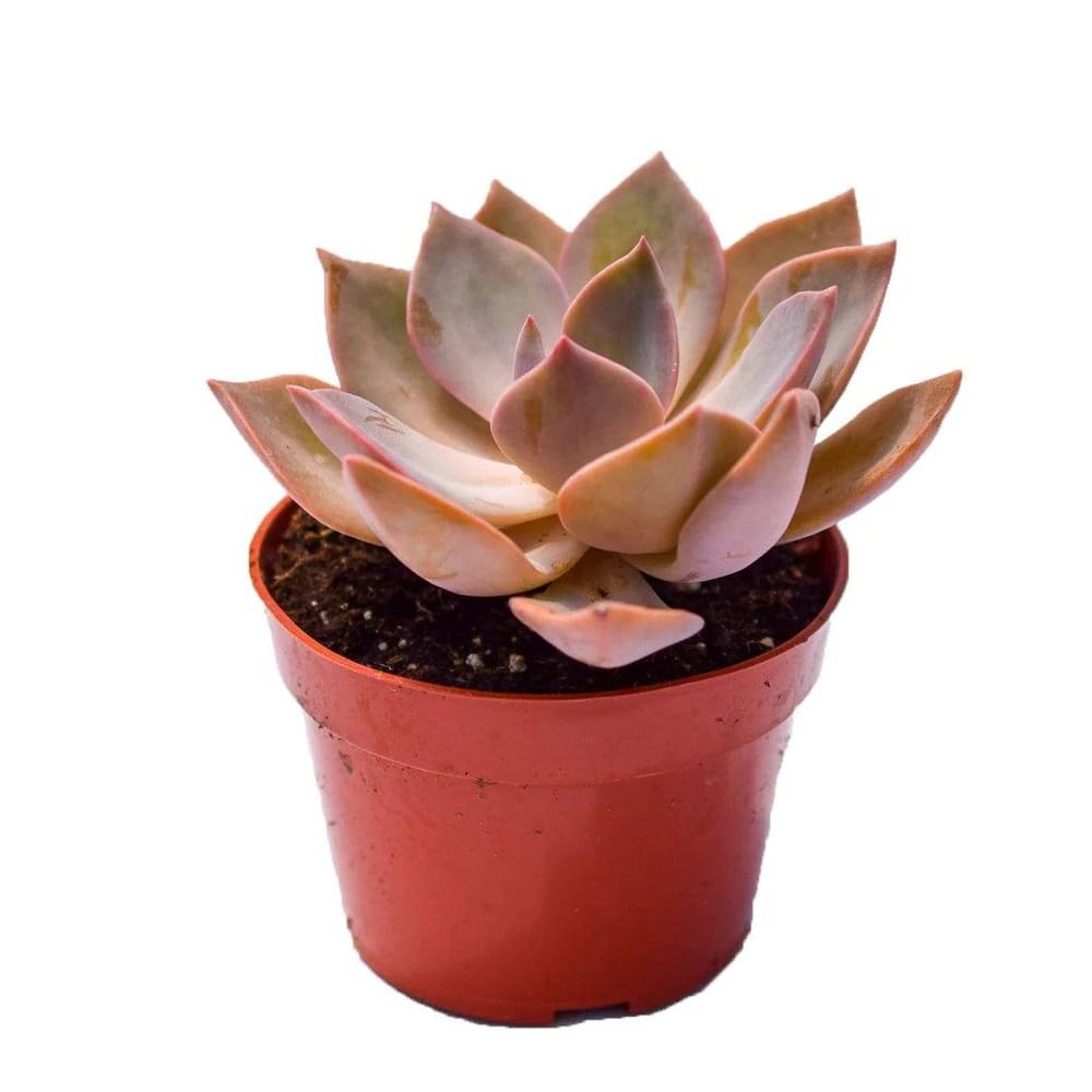 Echeveria Sanyatwe For Sale Buy Succulents Online Succulent Shop