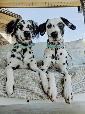Long Haired Dalmatian Puppy For Sale : haired, dalmatian, puppy, Brittney,, Prim,, Paislee, FriendshipCollar