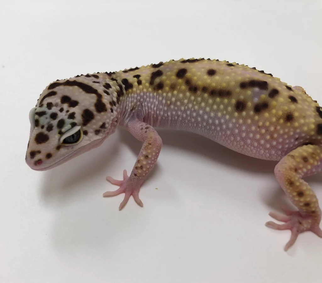 Moving Bhb Reptiles Snakes Blue Tongued Skinks Leopard