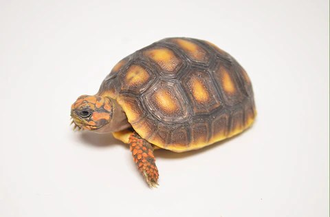 tortoises turtles tikisgeckos