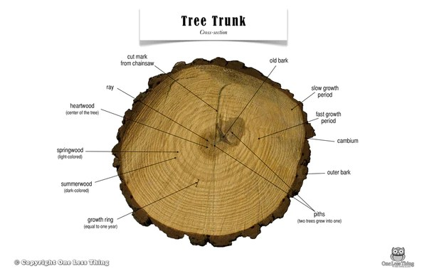 Tree Trunk Anatomy, Poster  One Less Thing