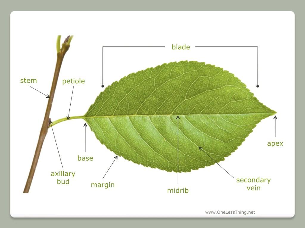 Anatomy Worksheet Plant