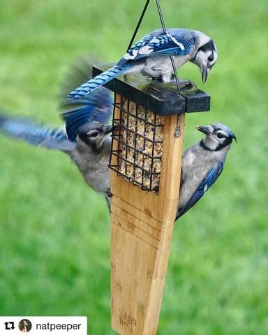 bird feature blue jays