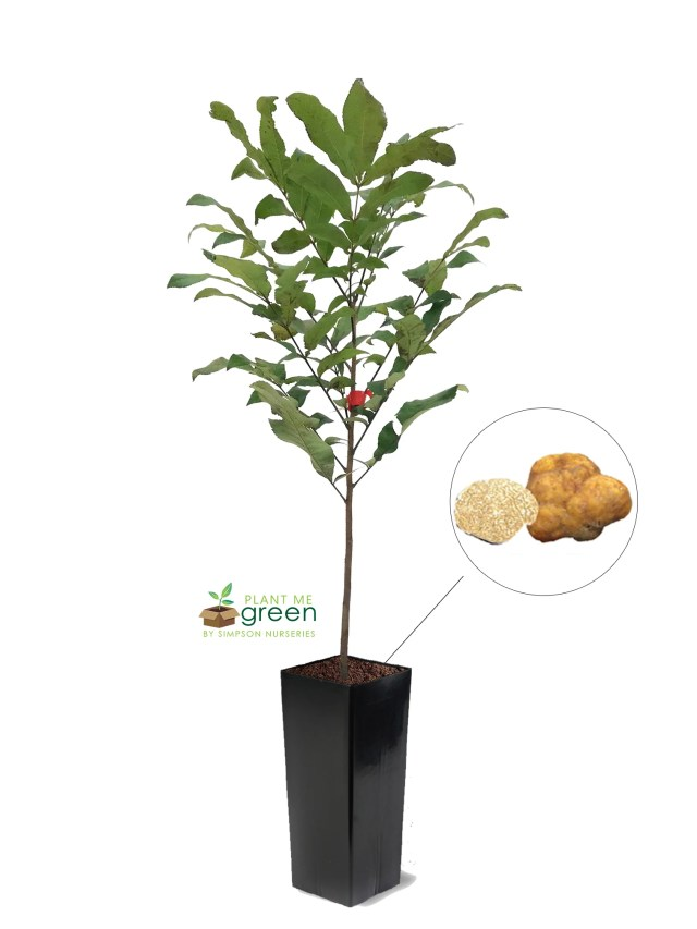 Pecan Trees - Truffle