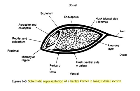 grain kernel diagram gibson pickup wiring diggin in what is the nutritional value of spent barley labs brewing by michael j lewis 2012 n p d 156 print