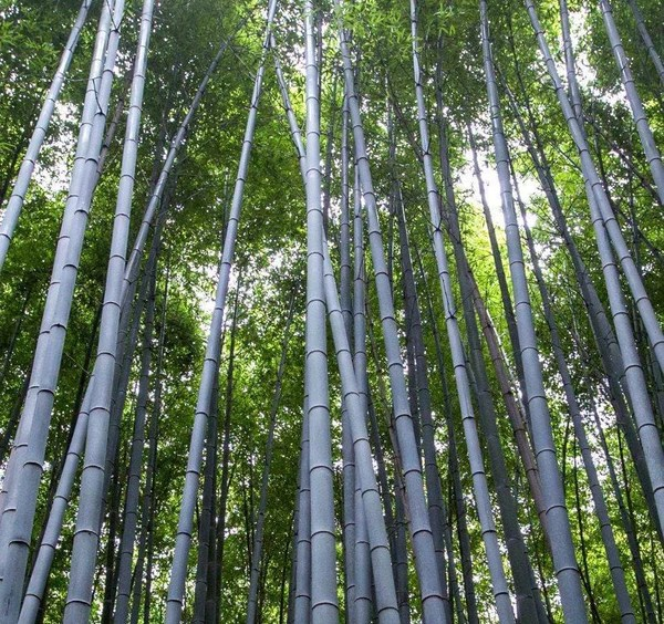 bamboo trees on canvas