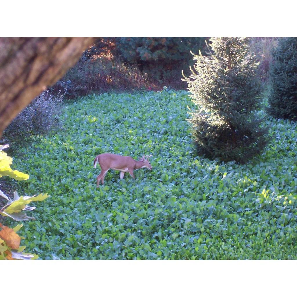 Austrian Winter Peas Deer