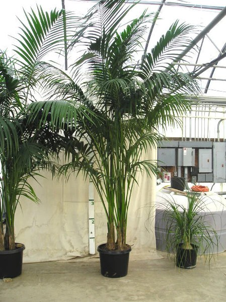 Kentia Palm  Howea fosteriana  Exotic Palm  5 Seeds