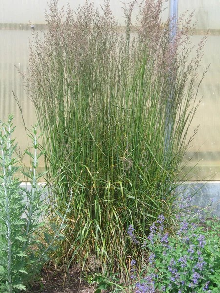 Calamagrostis  Karl Foerster Feather Reed Grass  Calgary Plants Online Garden Centre