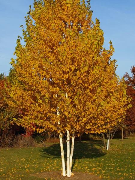Betula Clump Paper Birch Calgary Plants Online Garden