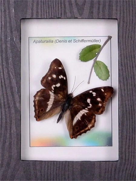 Purple Emperor framed Butterfly  Insect Frame UK