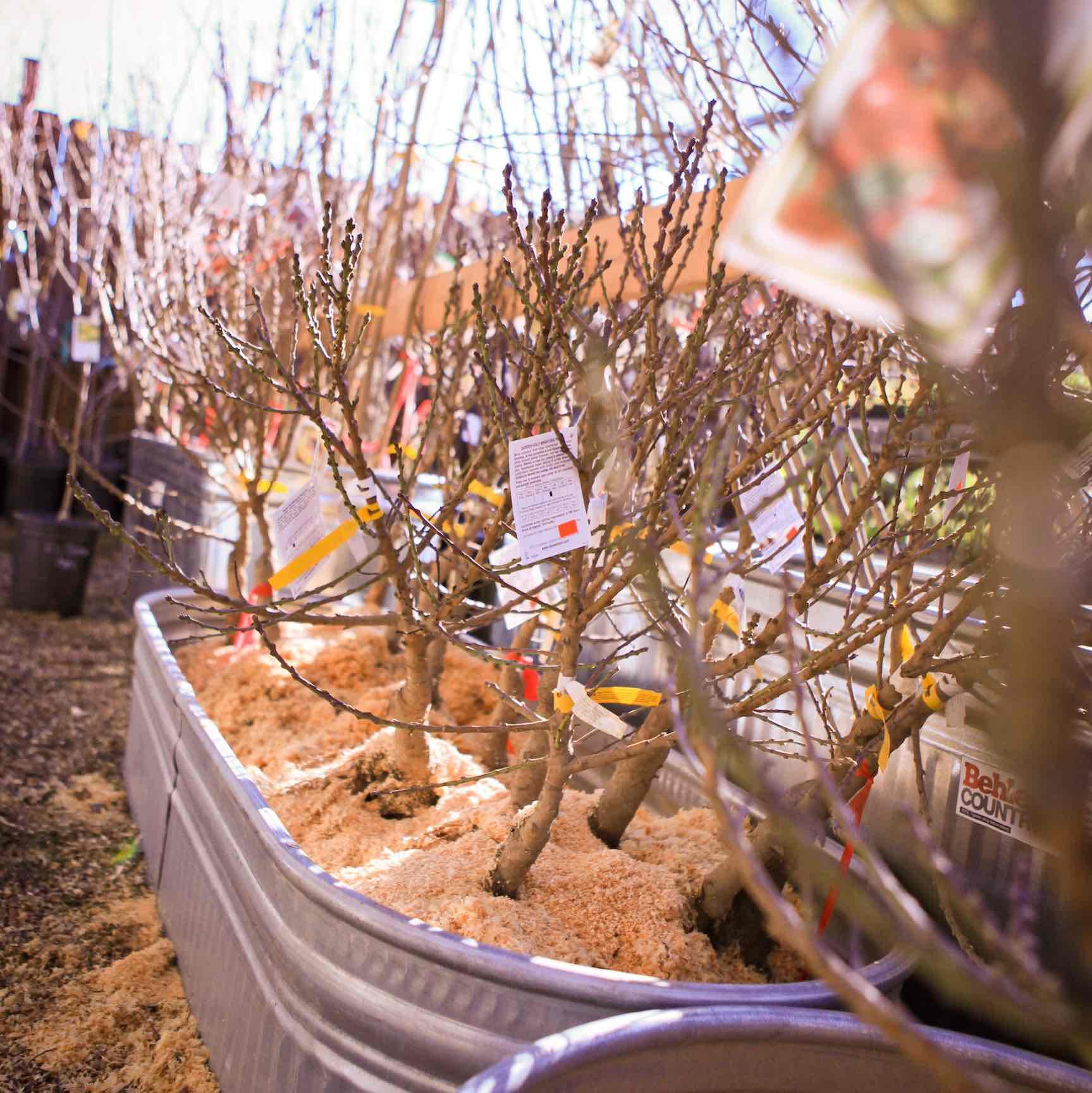 Bare Root Fruit Trees InDepth FAQ  Mountain Feed  Farm