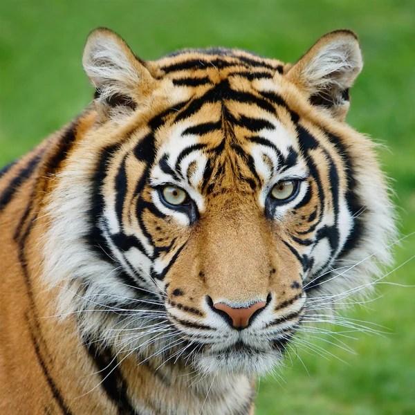adopt a tiger wwf