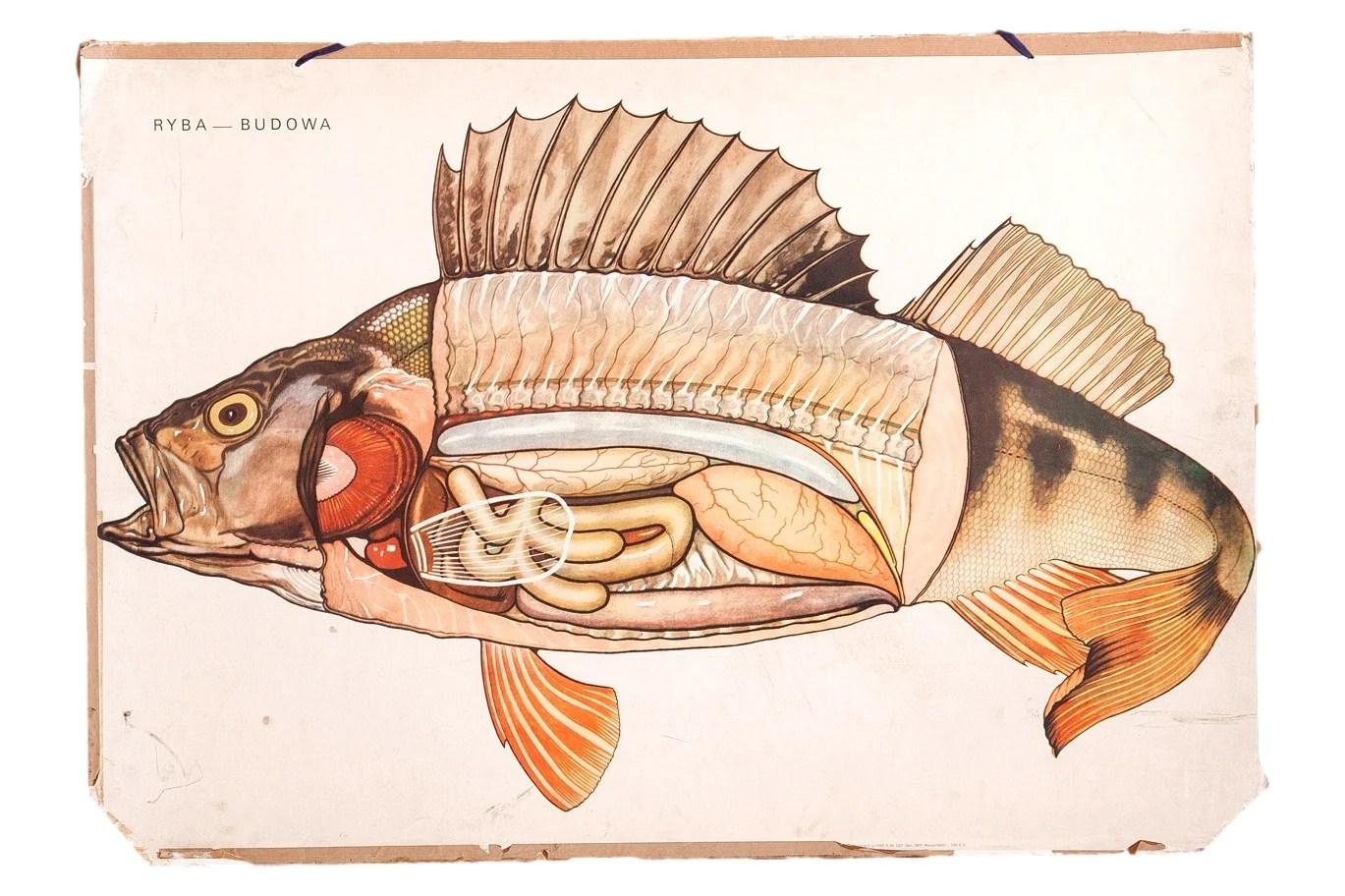 medium resolution of previous image next image sold vintage school fish diagram