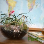7 Inch Bevel Cut Glass Bowl Air Plant Terrarium Plantstr