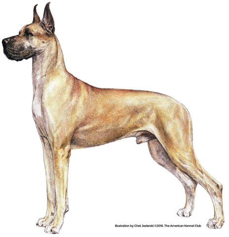 great dane products akc