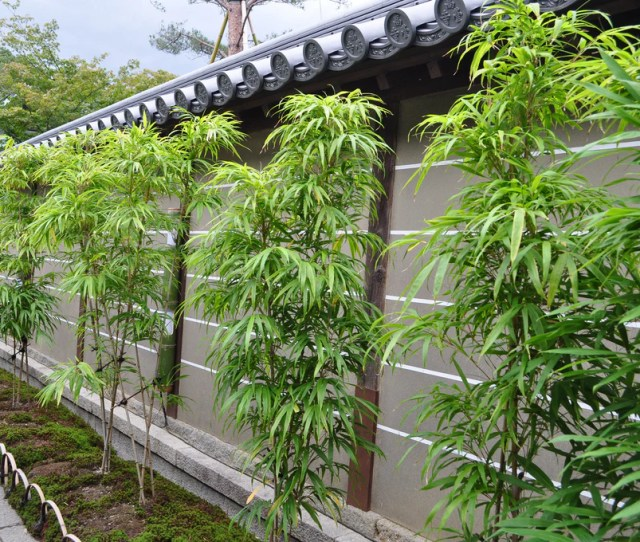 Growing Bamboo In Florida