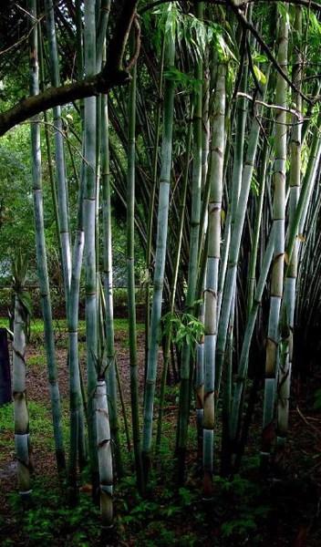 tropical blue bamboo - bambusa