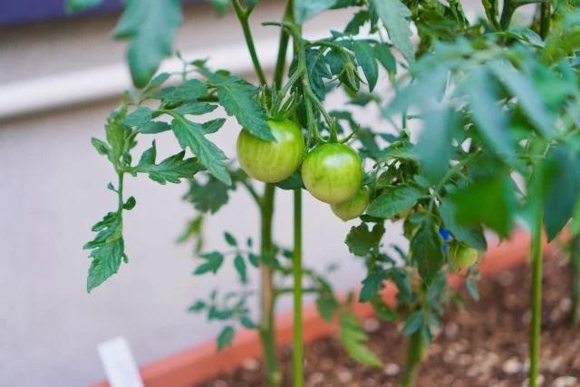 プランターで簡単にトマトなどの野菜が育てられる!家庭菜園を始める人が増えている理由