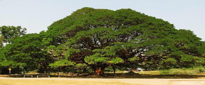 Monkey Pod Tree Wood