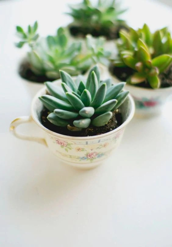 succulents in teacups