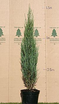 Juniperus Scopulorum Skyrocket Rocky Mountain Juniper