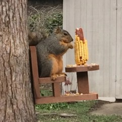 Squirrel Feeder Chair Laugh N Learn Table And For Corn Cobs  The