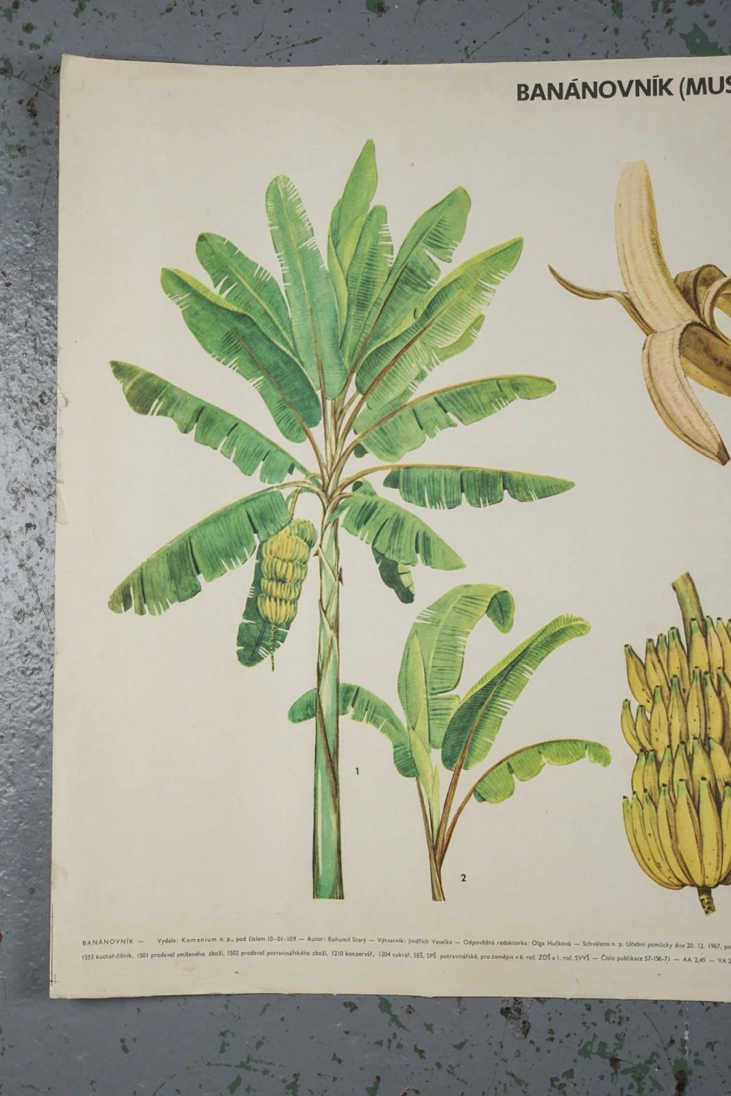 Botanical Banana Educational Poster 1972