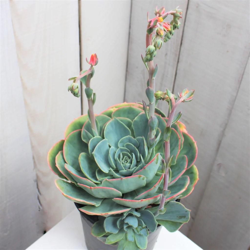 Echeveria Gibbiflora Hybrids Short History Succulent