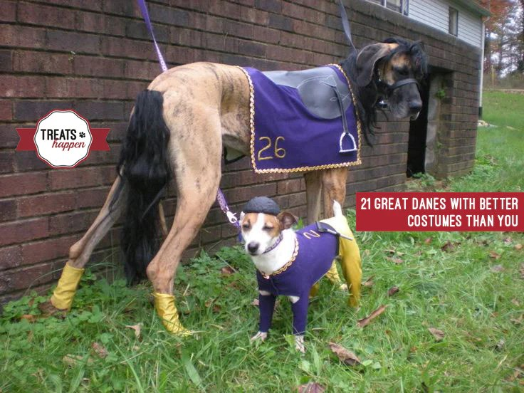 21 great danes with