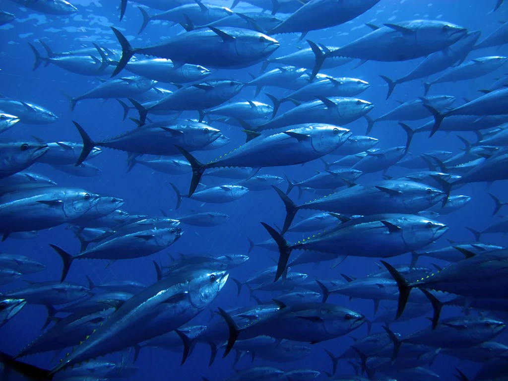 small resolution of an active and agile predator the tuna has a sleek streamlined body and is among the fastest swimming pelagic fish the yellowfin tuna for example