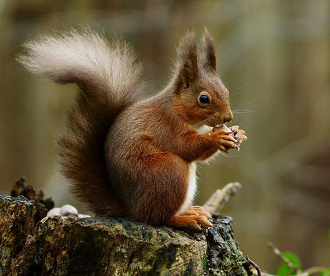 the red squirrel a