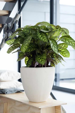 Verzorging Calathea  Plantsome
