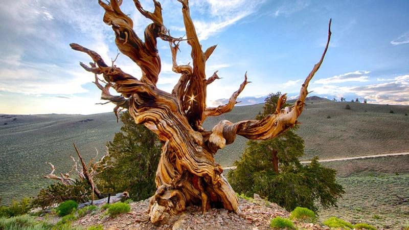 De oudste bomen ter wereld  Plantsome