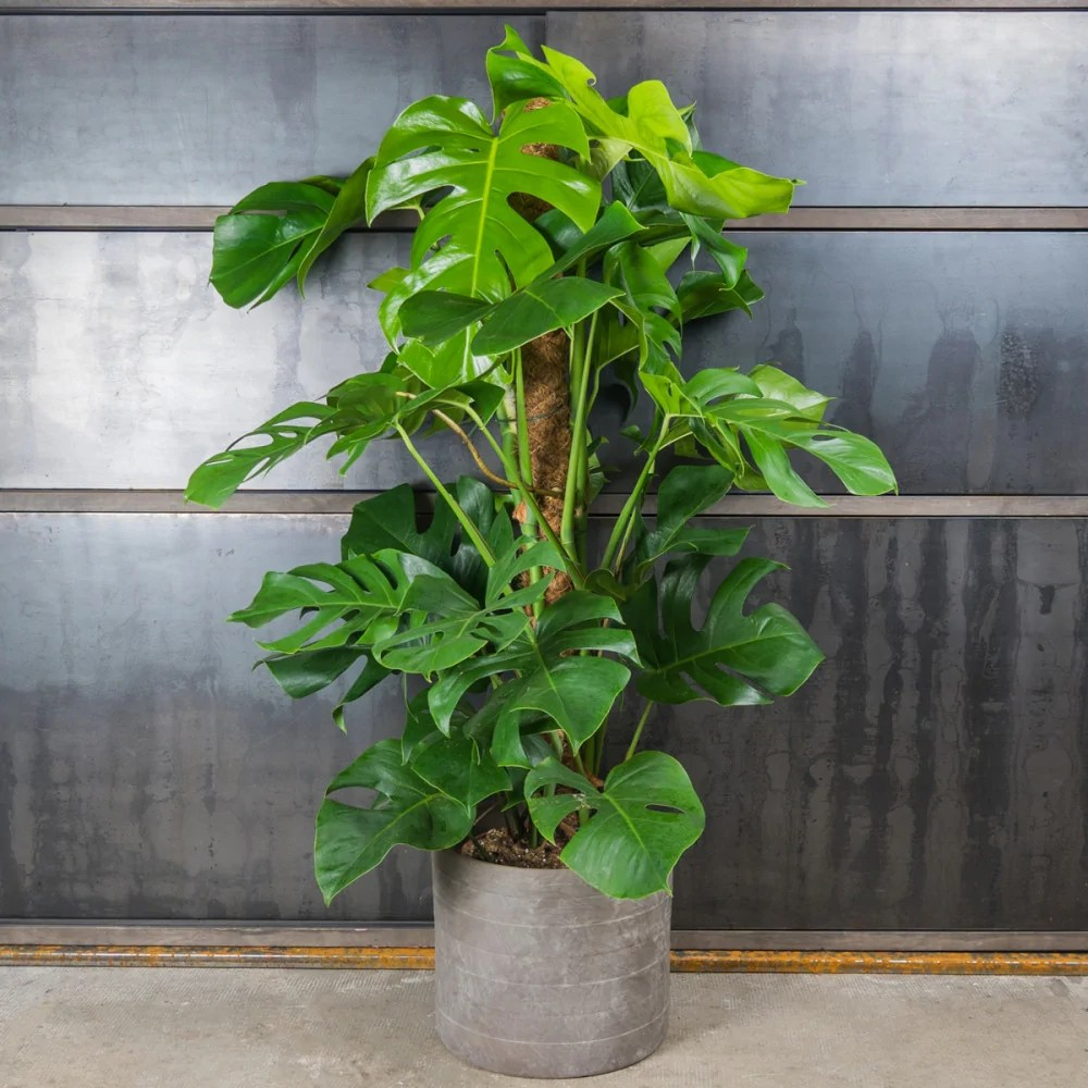 Philodendron  Verzorging  tips  Plantsome