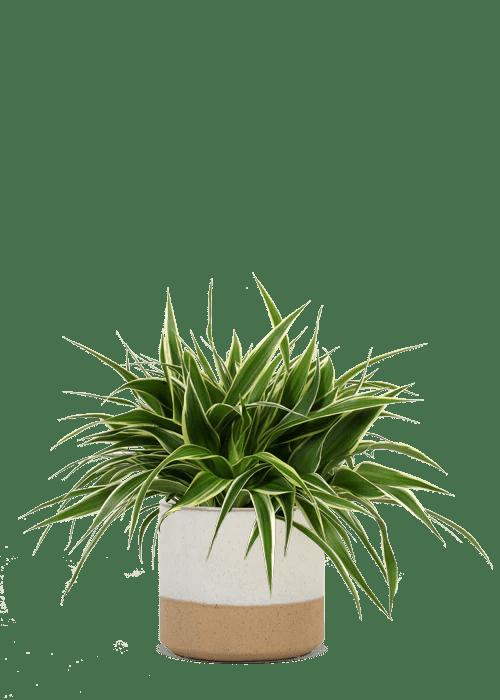 Graslelie Chlorophytum kopen  Plantsome