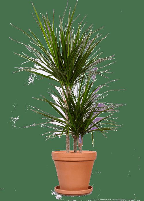 Dracaena Marginata Drakenbloedboom 100 cm kopen  Plantsome