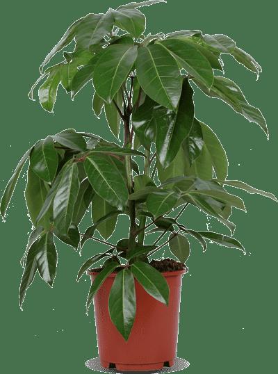 Schefflera Amate Sjon kopen  Plantsome  Simpelweg