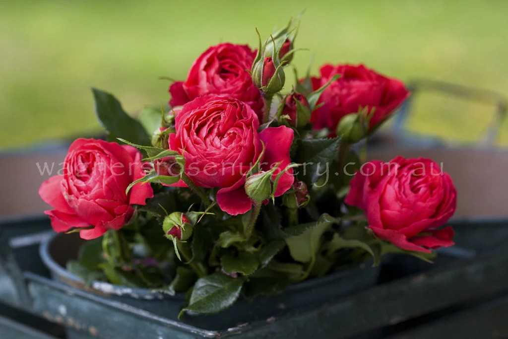 Gift Of Friendship Pbr Wagner S Rose Nursery