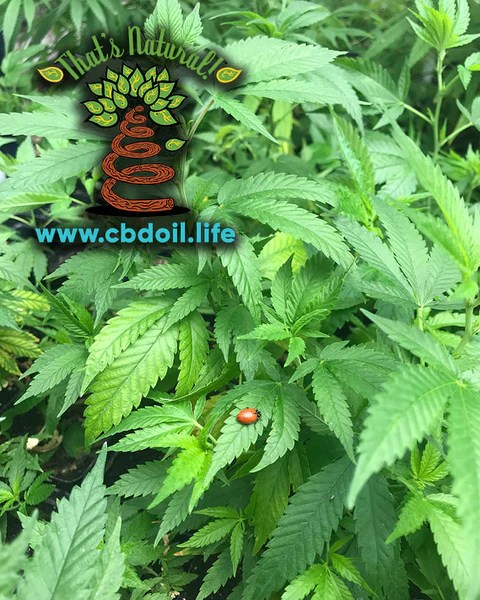 The That's Natural cannabinoids include: CBD (Cannabidiol), CBDa (Cannabidiolic Acid), CBC (Cannabichromene), CBG (Cannabigerol), and CBN (Cannabinol) - see more from Thats Natural at www.cbdoil.life and www.thatsnatural.info  see more from Thats Natural at www.cbdoil.life and find us an our Life Force Market outside of Basalt, Colorado in the Aspen Valley next to the Willits Gas Station #ThatsNatural #lifeforce #cbd #cbdoil  www.thatsnatural.info