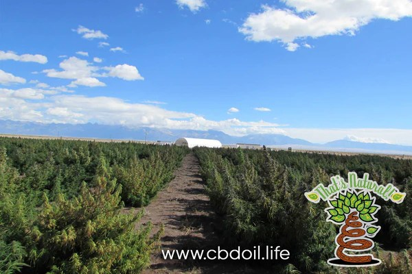 Frequently Asked Questions and Answers about CBD Oil - FAQs - from That's Natural full spectrum CBD-rich hemp oil at www.cbdoil.life and thatsnatural.info - Cannabinoids and terpenes for the Entourage Effect!