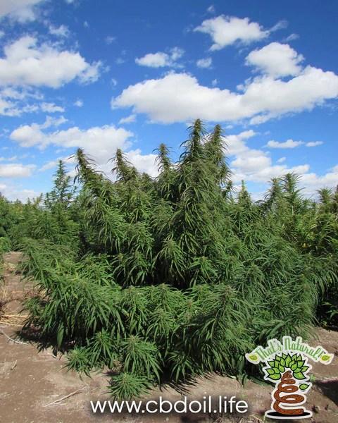 Colorado Direct Produce Hemp Farm in San Luis Valley - That's Natural at www.cbdoil.life